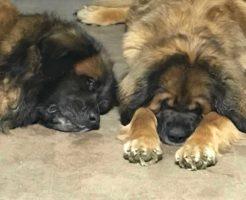 超大型犬レオンベルガーのGREAT TOWN犬舎